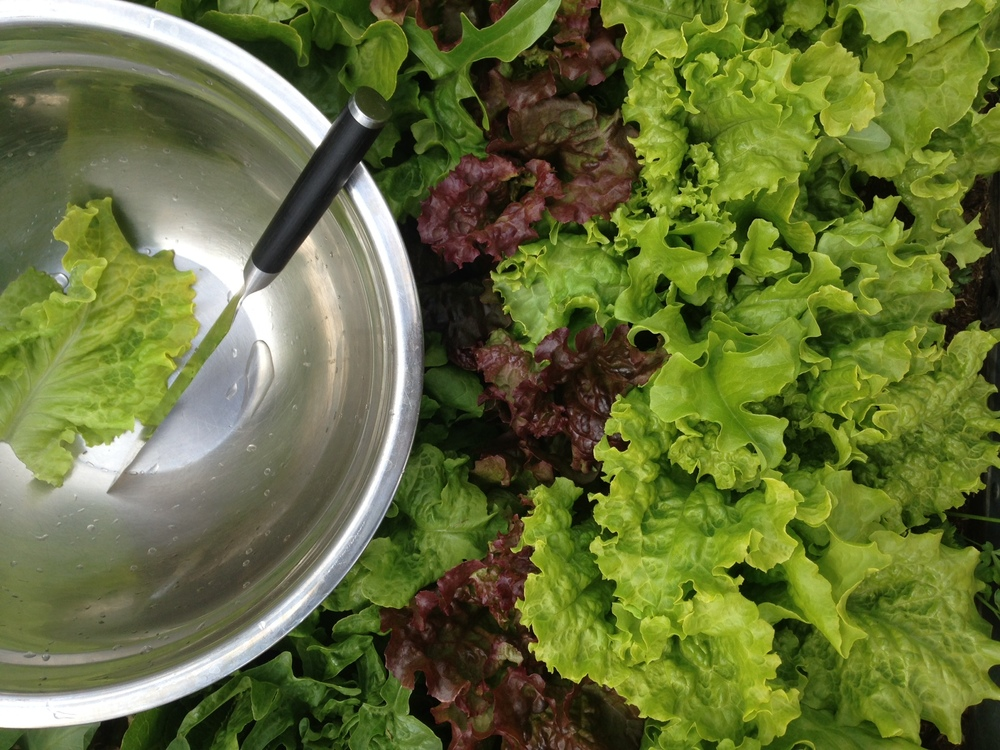 Our leaf lettuces going directly into the salad bowl at the peak of the season.